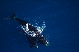 Ministers announce latest measures to protect right whales