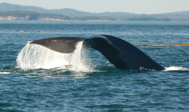 The endangered Right Whale is one species threatened by the risk of increased tanker traffic and oil spills in the Bay of Fundy.