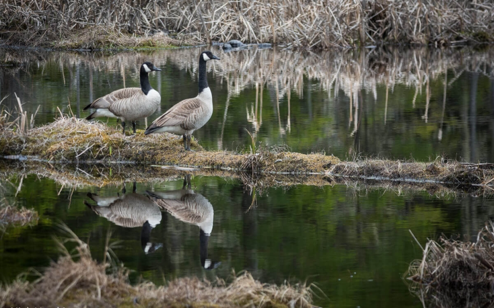 Canada geese reflections