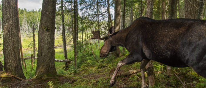 A camera trap captures a bull mose as it descends to a forest wetland at Ayers Lake, New Brunswick.