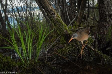 The Virginia rail is seldom seen and can remain completely hidden despite being only a few feet away. Their long toes help them to walk on top of submerged vegetation and they can compress their bodies laterally to slip between reeds and grass. Photograph from the St. George Marsh.