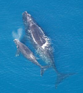Right Whale sightings in the Bay of Fundy on the decline