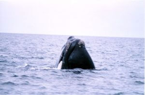 right whale nose