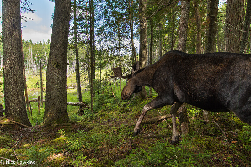 A bull mosee descends to a forest clearing. Moose are an important browser in the Acadian forest region and shape the natural regeneration of the forests they live in.