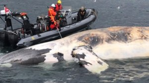 What's happening to the right whale?
