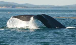 Tanker strikes leading cause of right whale deaths: report