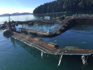 Puget Sound on alert after Cooke Aquaculture salmon farm fails, releasing thousands