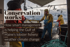 Conservation works: study says smart stewardship is helping Maine lobster fishery withstand rising ocean temperatures