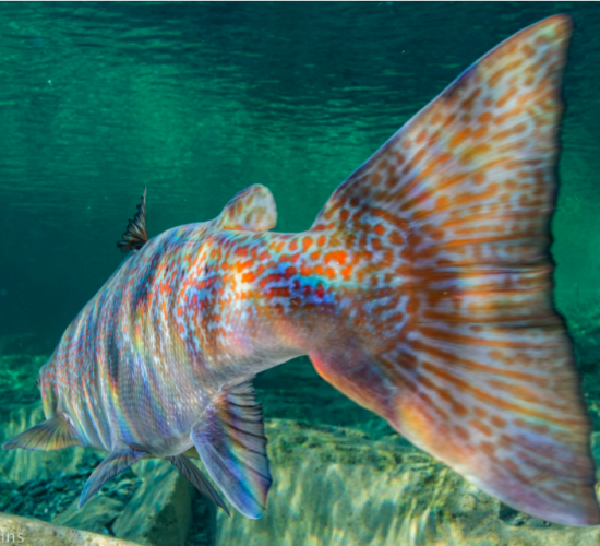 Wild Atlantic salmon. Photo: Nick Hawkins